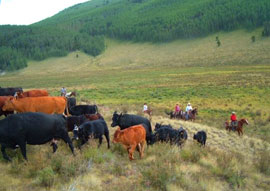 Moving Cows in the San Juan Mountains